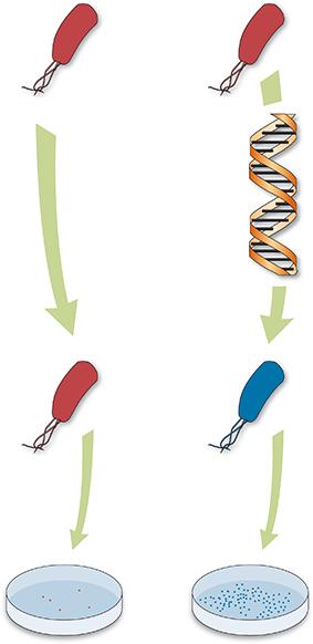 Transgénesis de E. coli para sintetizar mediante el cual podían sintetizar metalotioneían