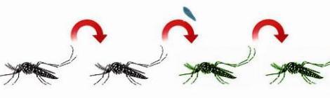 Reproducción del insecto transmisor e infección por Wolbichia