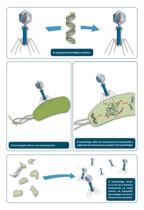 Proceso por el cual el uso de un bacteriófago sustituye a los antibióticos ante las enterobacterias que afectan al tracto digestivo