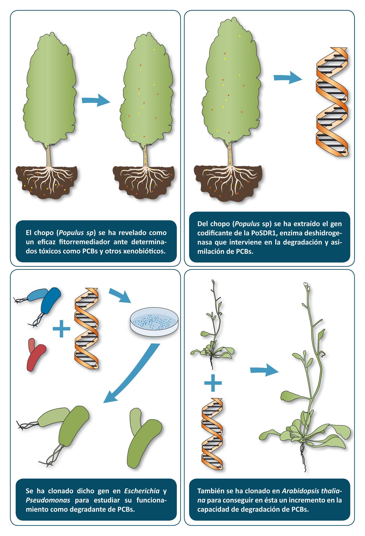 de clonación del gen que codifica la enzima PoSDR1 en bacterias y en