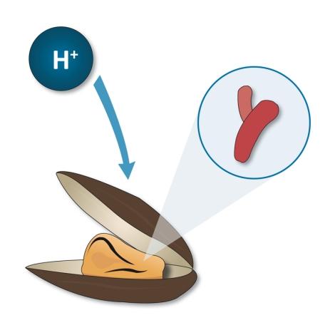 Obtención de energía a partir de hidrógeno en bacteria simbiótica con mejillón