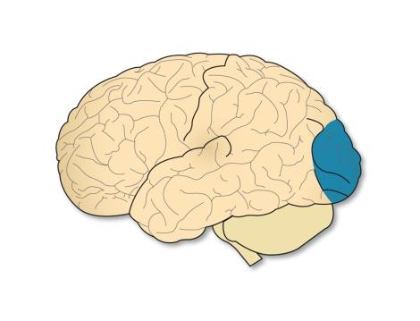 La zona de la corteza cerebral encargada de la visión no es la única responsable de la percepción del movimiento global; si lo es, en cambio, de la percepción del movimiento local
