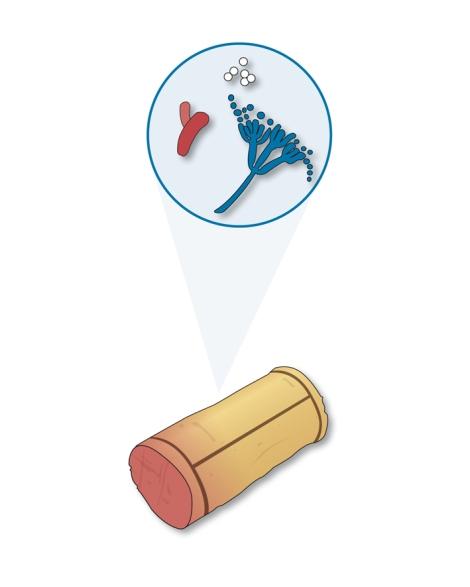 Dentro de un corcho encontramos diversos microorganismos como levaduras, bacterias, y, sobre todo, hongos filamentosos