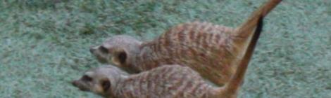 suricatos-suricata suricatta-faunia-juego