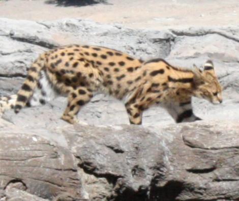 ocelote-leopardus pardalis-juego-aprendizaje