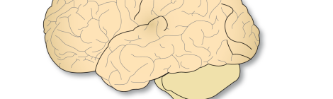 corteza-cerebral-cerebro