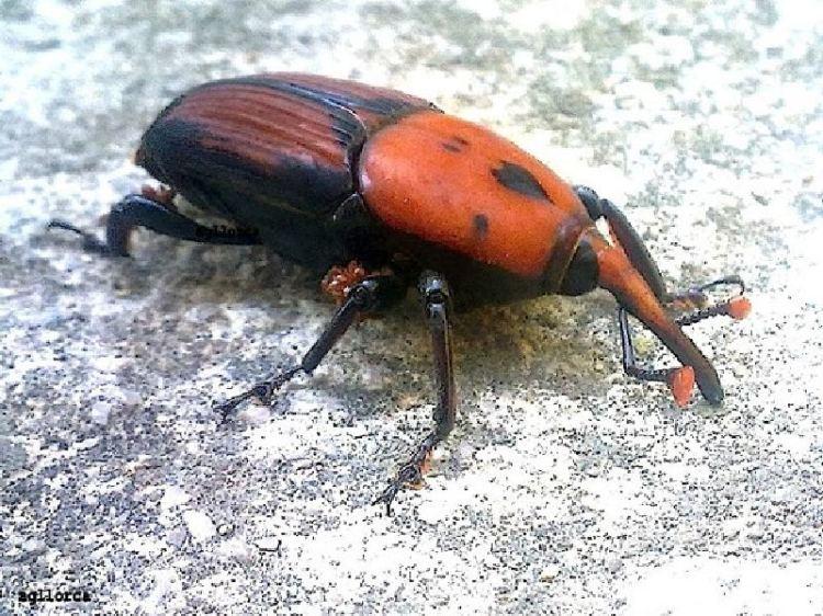 picudo-rojo-AGarciaLlorca